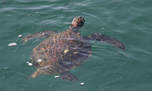 green_turtle1